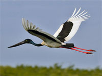 GtB Ein Jabiru fliegt über die Crooked Tree Wildlife Sanctuary in Belize