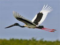 GtB Ein Jabiru fliegt über die Crooked Tree Wildlife Sanctuary in Belize