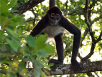 GtB Howler Monkey in the Rainforest of Belize