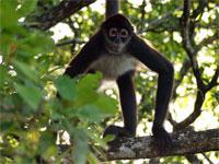 GtB Howler Monkey im Regenwald von Belize
