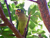 GtB A Parrot in Rio Bravo bird watcher's paradise in the rainforest of Belize