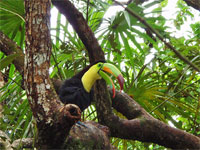 GtB Der Keel billed Toucan im liebvollen Belize Zoo