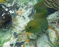 GtB Say hello to your old friend, the green moray