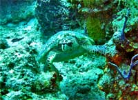 GtB Hawksbill Turtle close to Turneffe Atoll