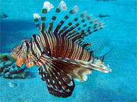 GtB Scorpion (King Lion) Fish
