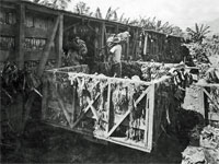 GtB Loading Banana in the Stann Creek Valley