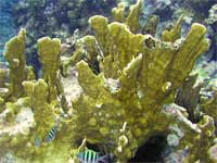 Plate Fire Coral