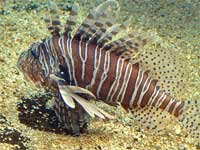 Scorpio Fish or Zebra Fish