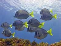 Surgeonfish or Tang
