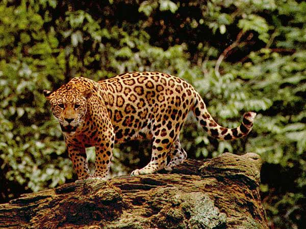 The Jaguar of Belize