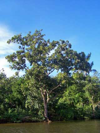 Mahagonibaum  Guide to Belize Tropical Trees