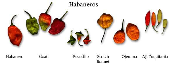 Habaneros Chilis in various size