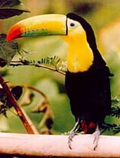 Tucan, the national birth of Belize